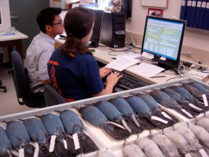 Elizabeth Wommack and Joshua Penalba cataloging Steller's Jay specimens into Arctos
