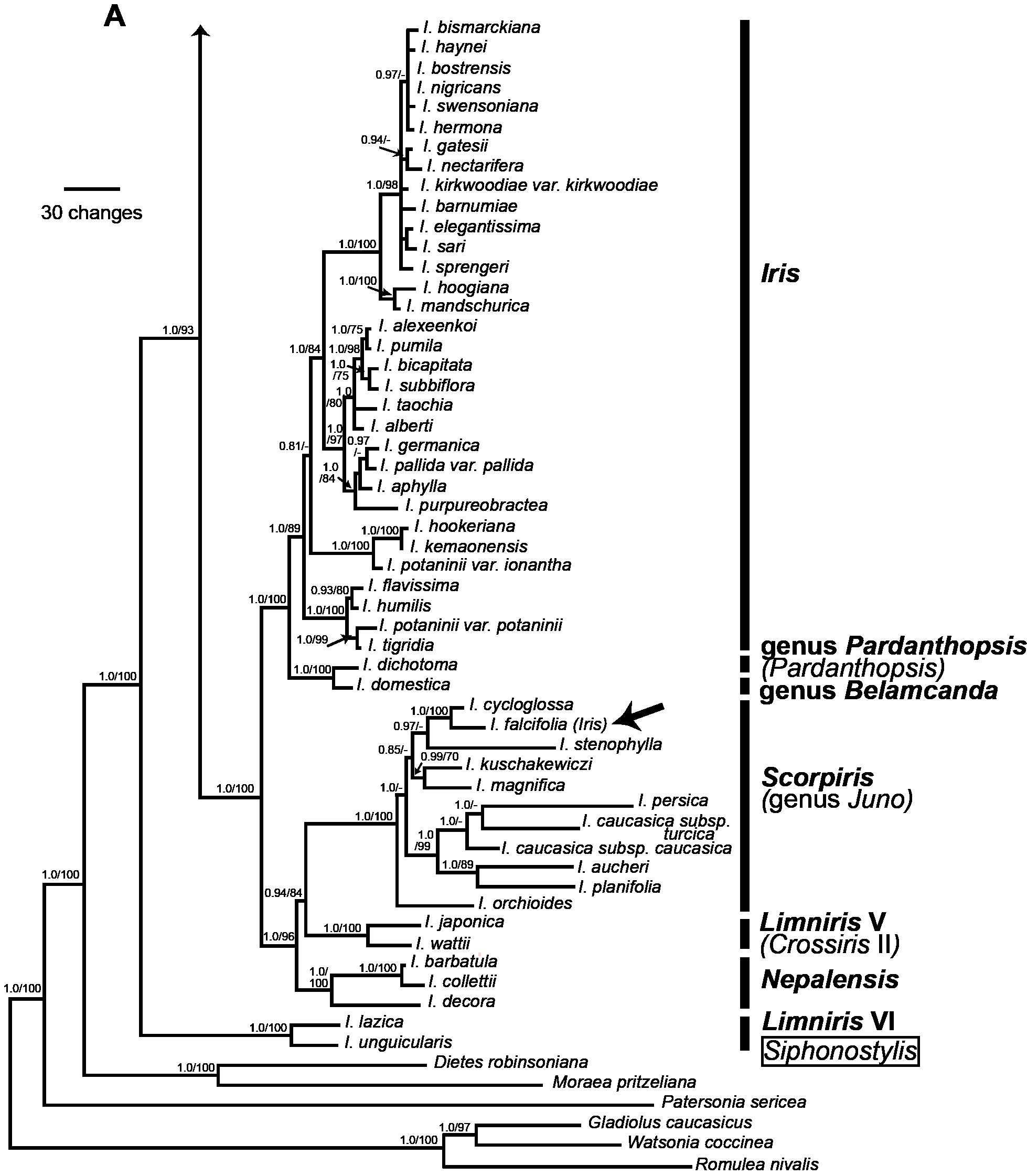 Phylogeny_Iris_1ARev