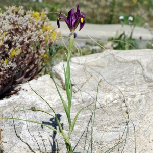 filifolia2