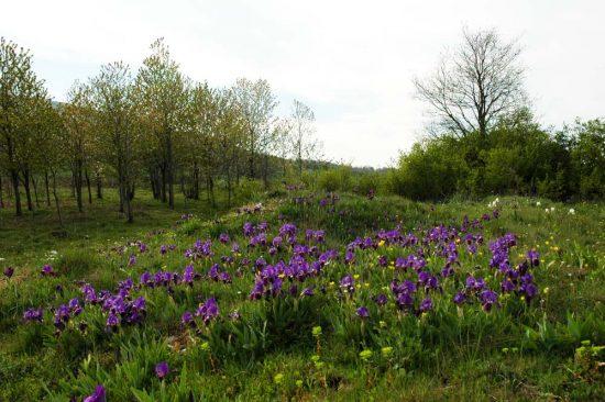 Field of Iris lutescens in the Gargano Peninsula