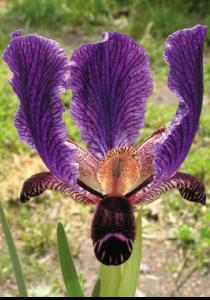 Iris Paradoxa