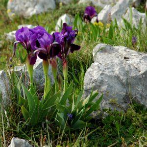 Iris lutenscens